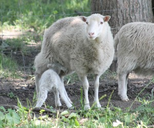 Aug lamb nursing