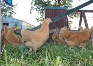 buff orpington pullet