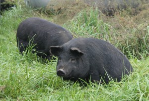 American Guinea Hogs on pasture