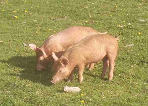 Tamworth pigs