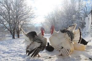 Free-range heritage turkeys